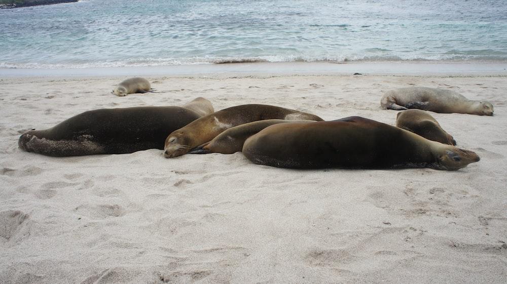 seal lying on shore