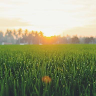 sunrise in plant field
