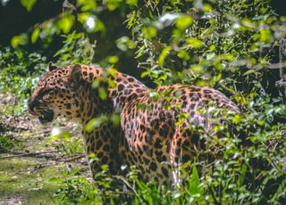 brown leopard surrounded by green leaves