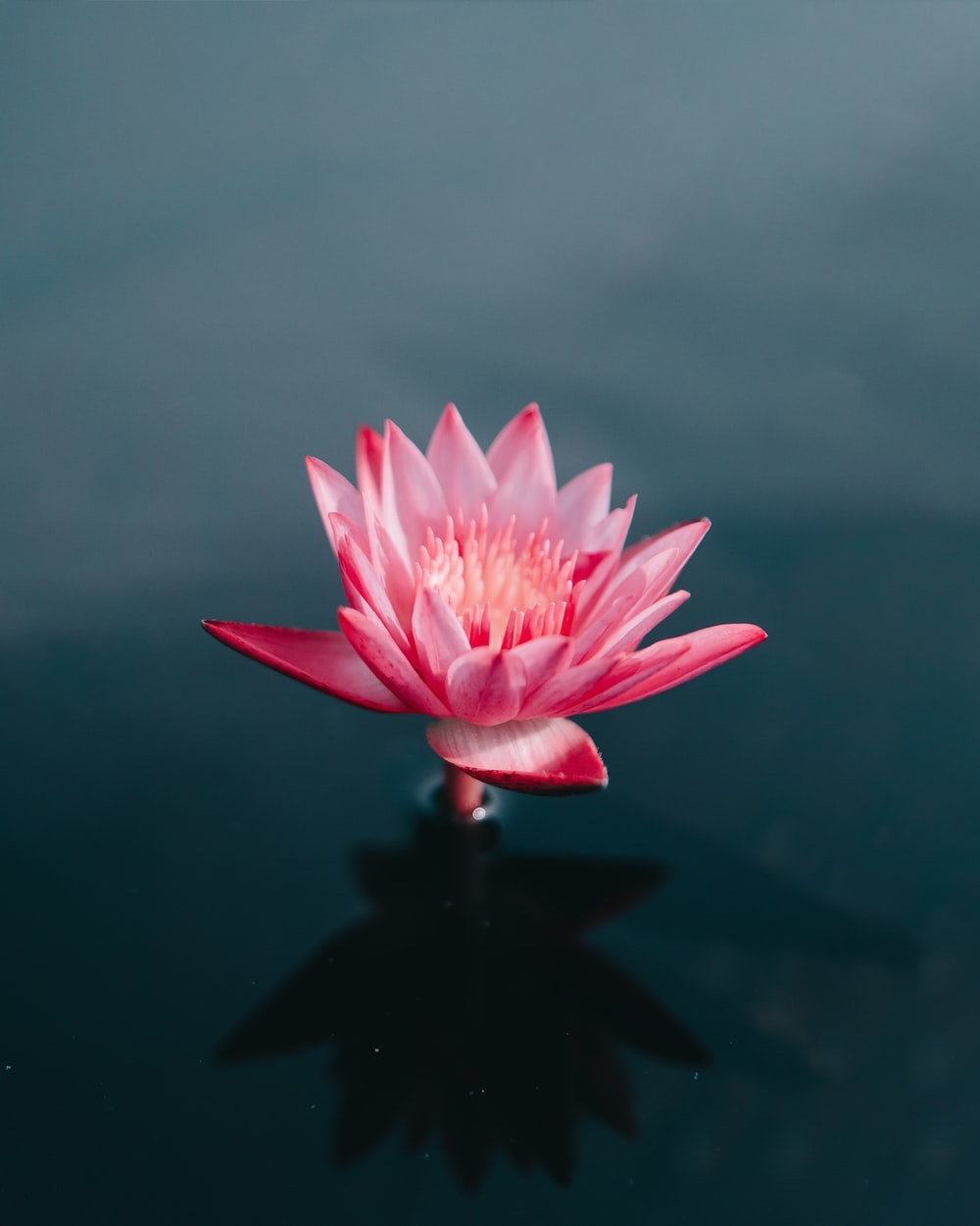 pink flowers on body of water