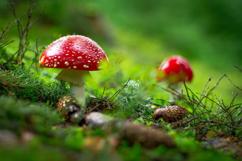 macro shot of red mushroom