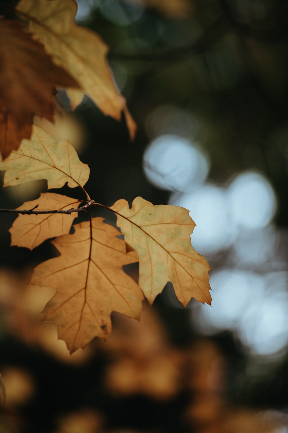 selective focus photography of yellow maple leaf