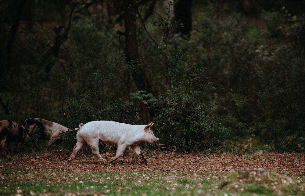 white pig walking on grass field