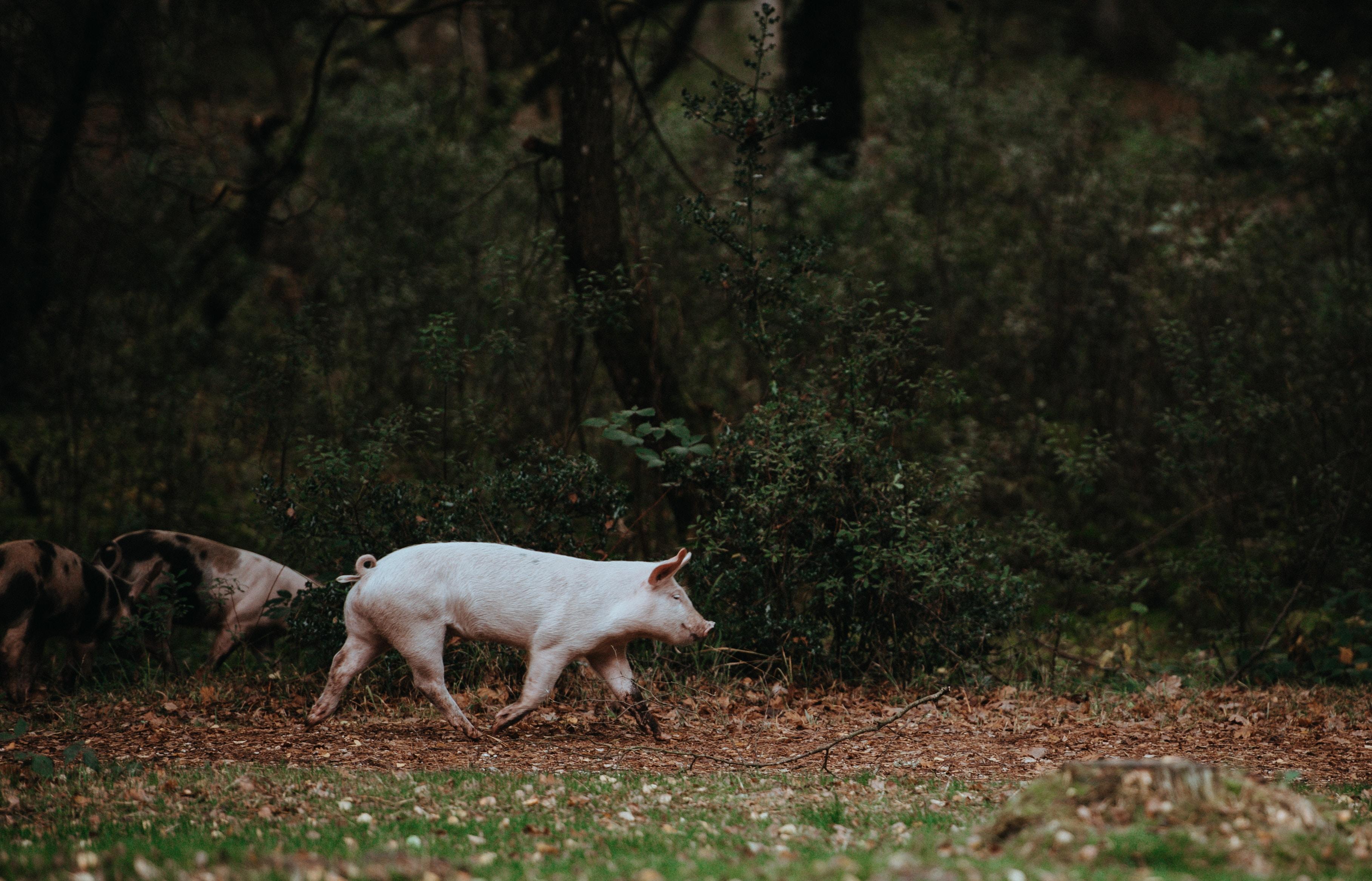 Acornseekers Brings Jamón Ibérico to Texas
