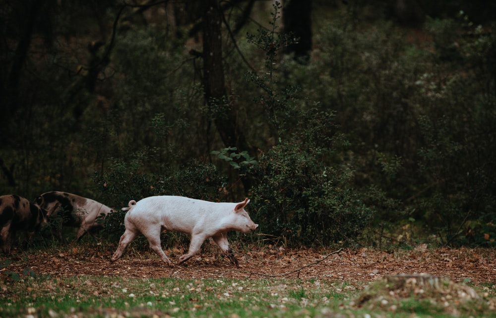 white pig walking on grass field
