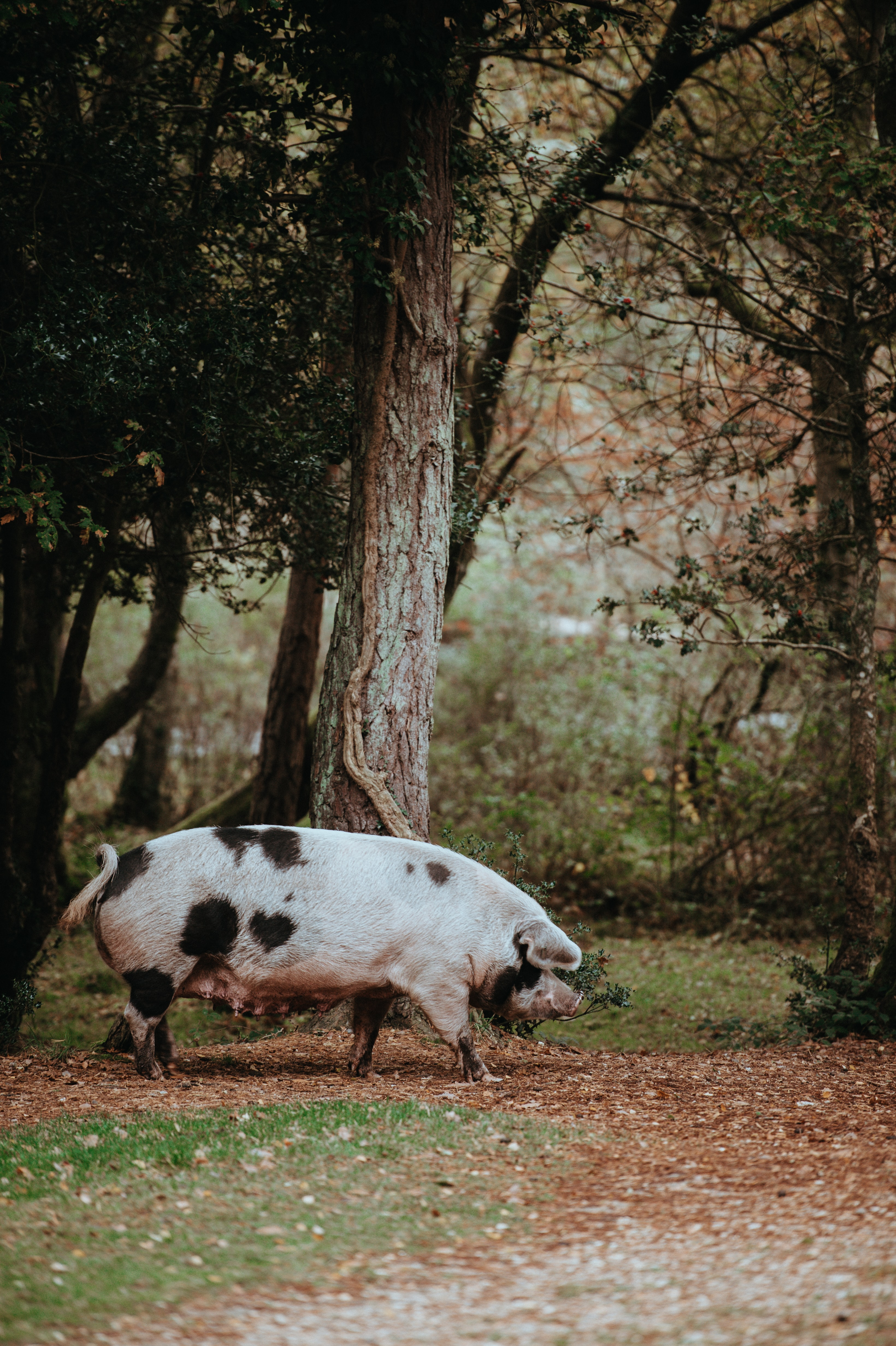 piglet in forest