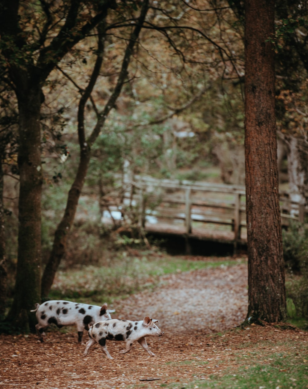 two white-and-black pigs walking near trees during daytime