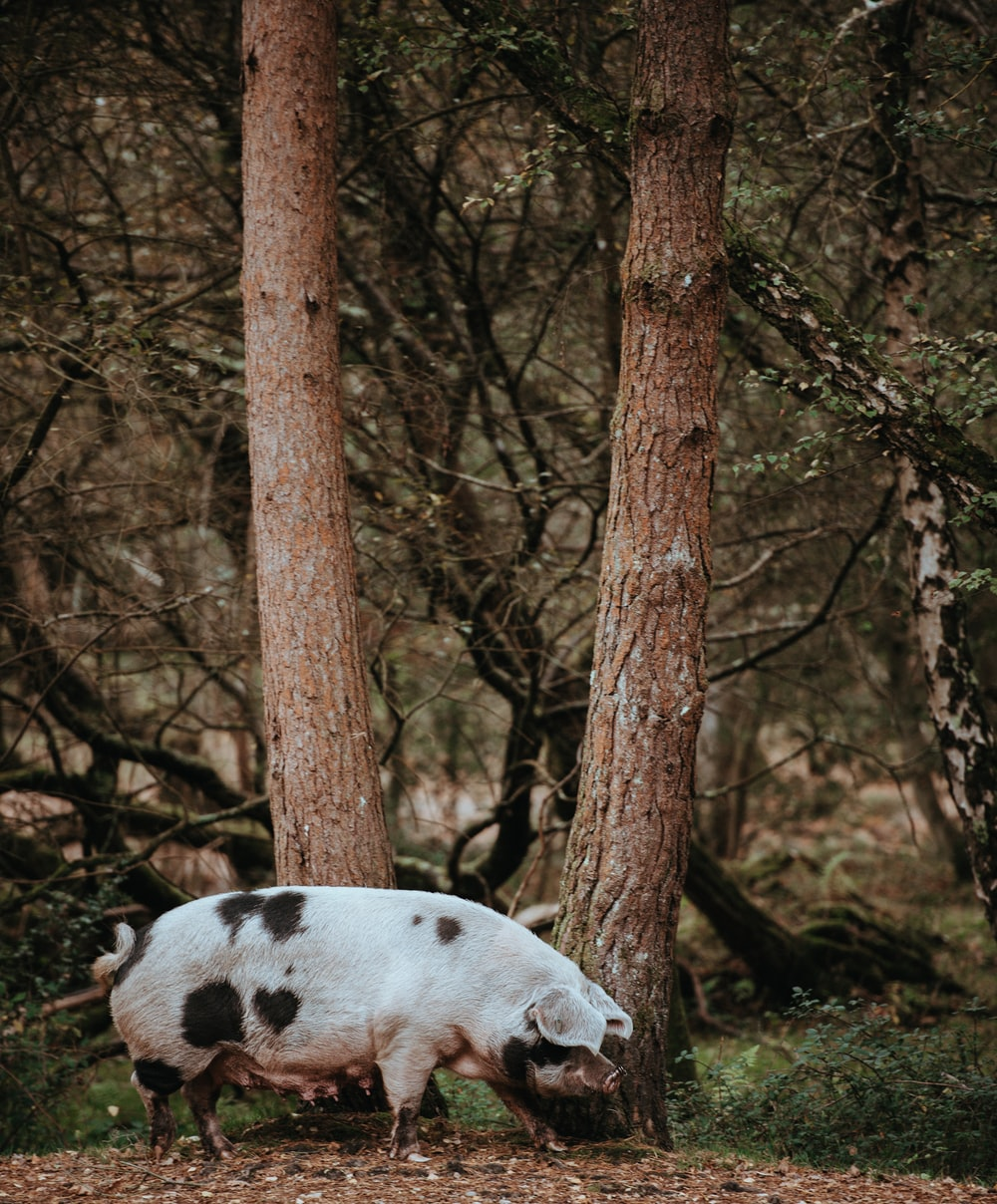 white and black pig standing near trees