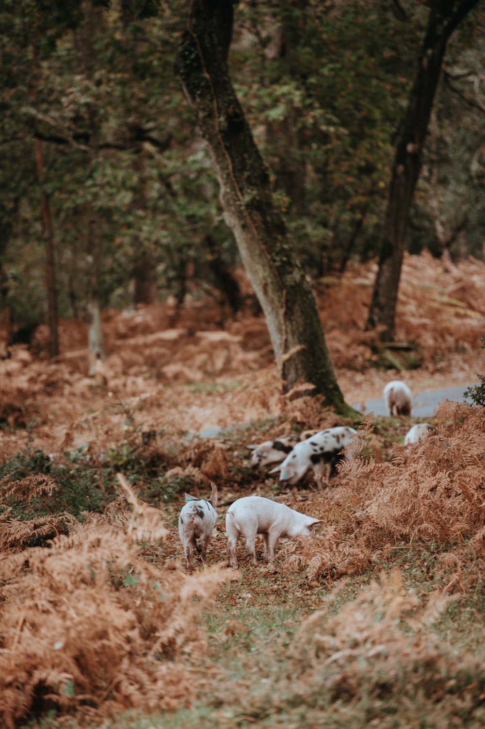 swine of pigs surrounded by tall trees