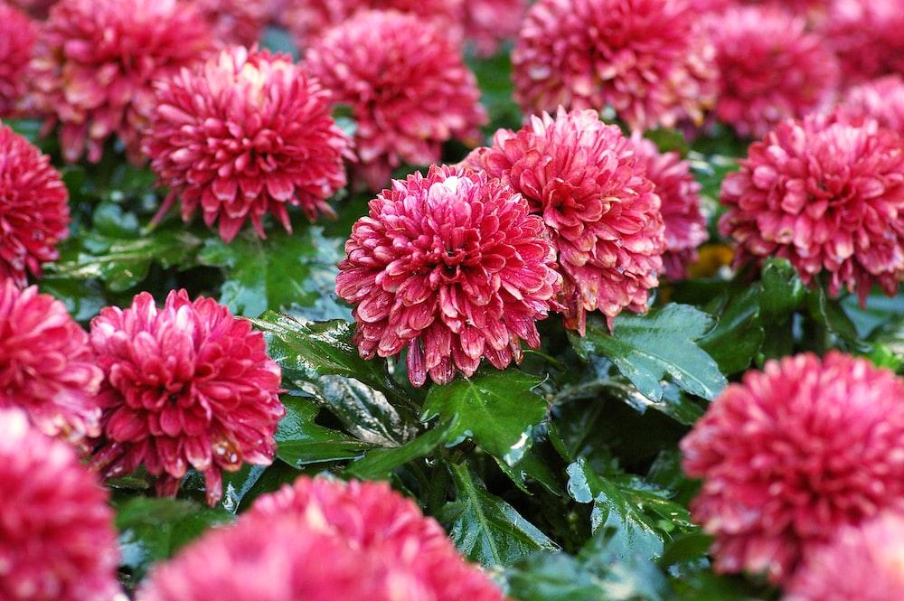 blooming red petaled flowers