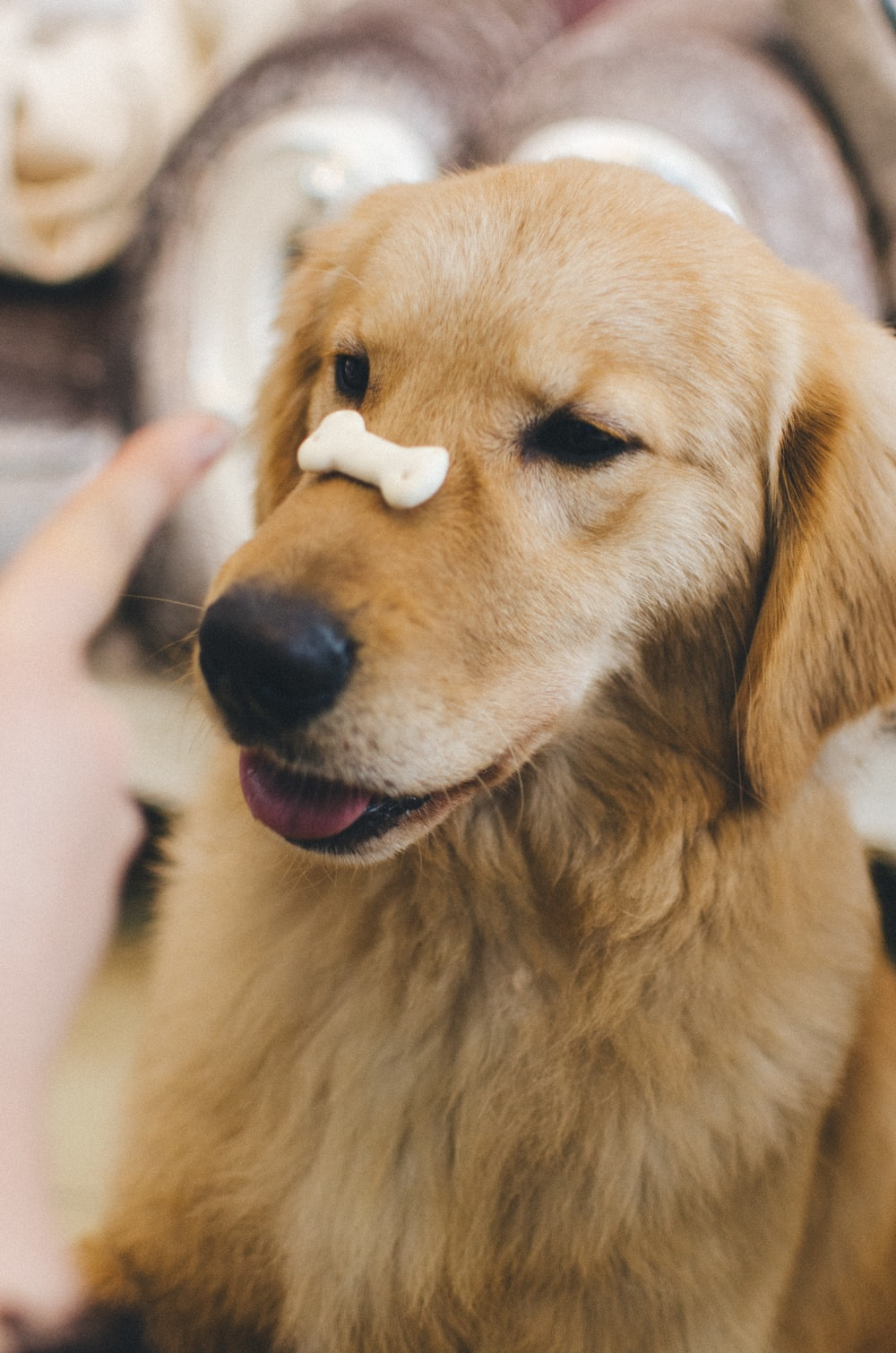 adult golden retriever with cookie bone on nose