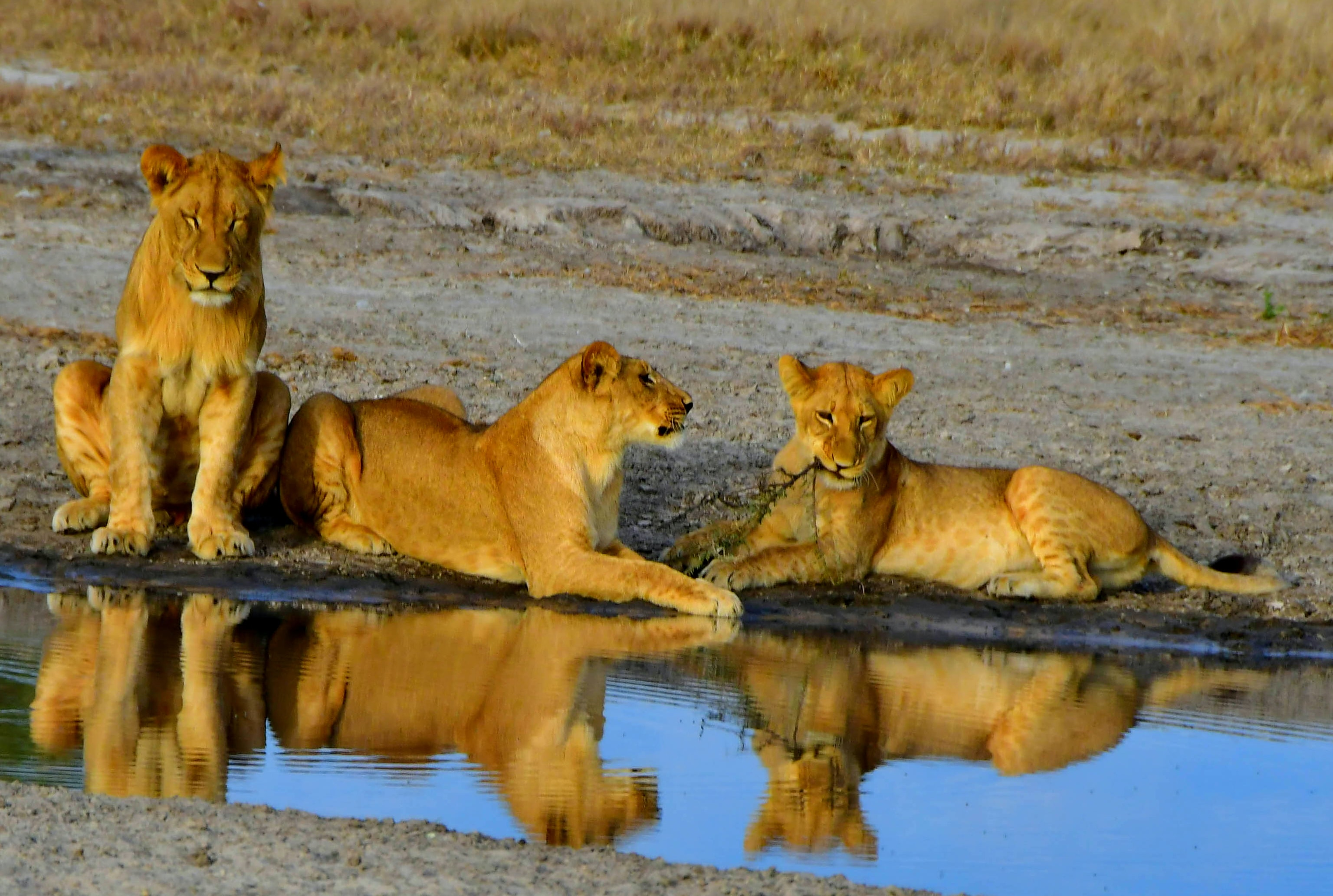 three lion beside body of water at daytime