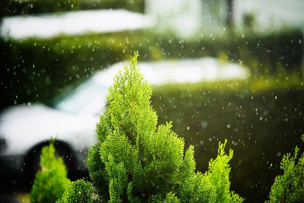 closeup photo of green fir plant