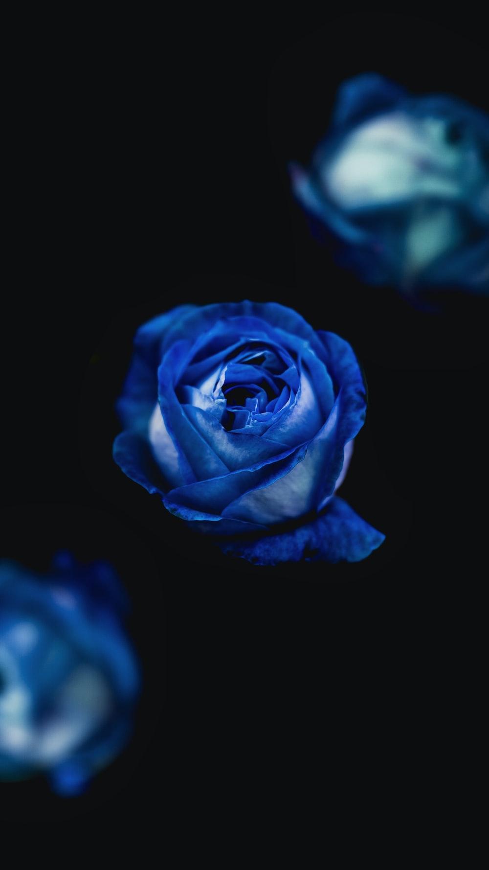 Blue Roses Hd Photo By Alexandru Acea At Alexacea On Unsplash