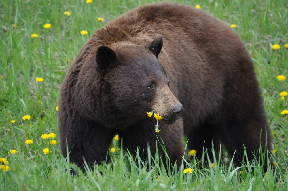 photo of wild grizzly bear