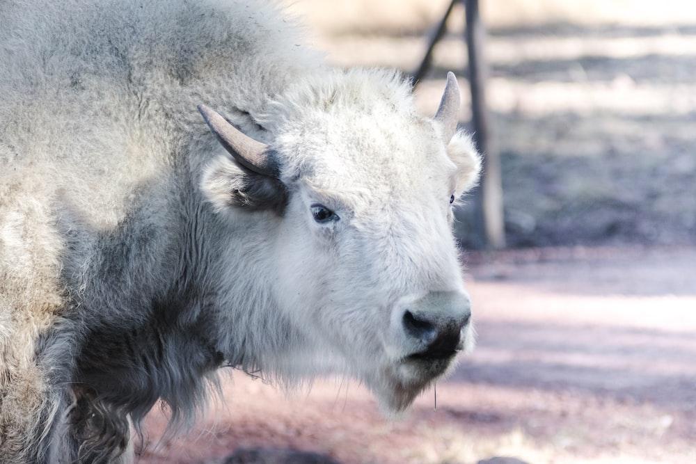 white buffalo standing on ground