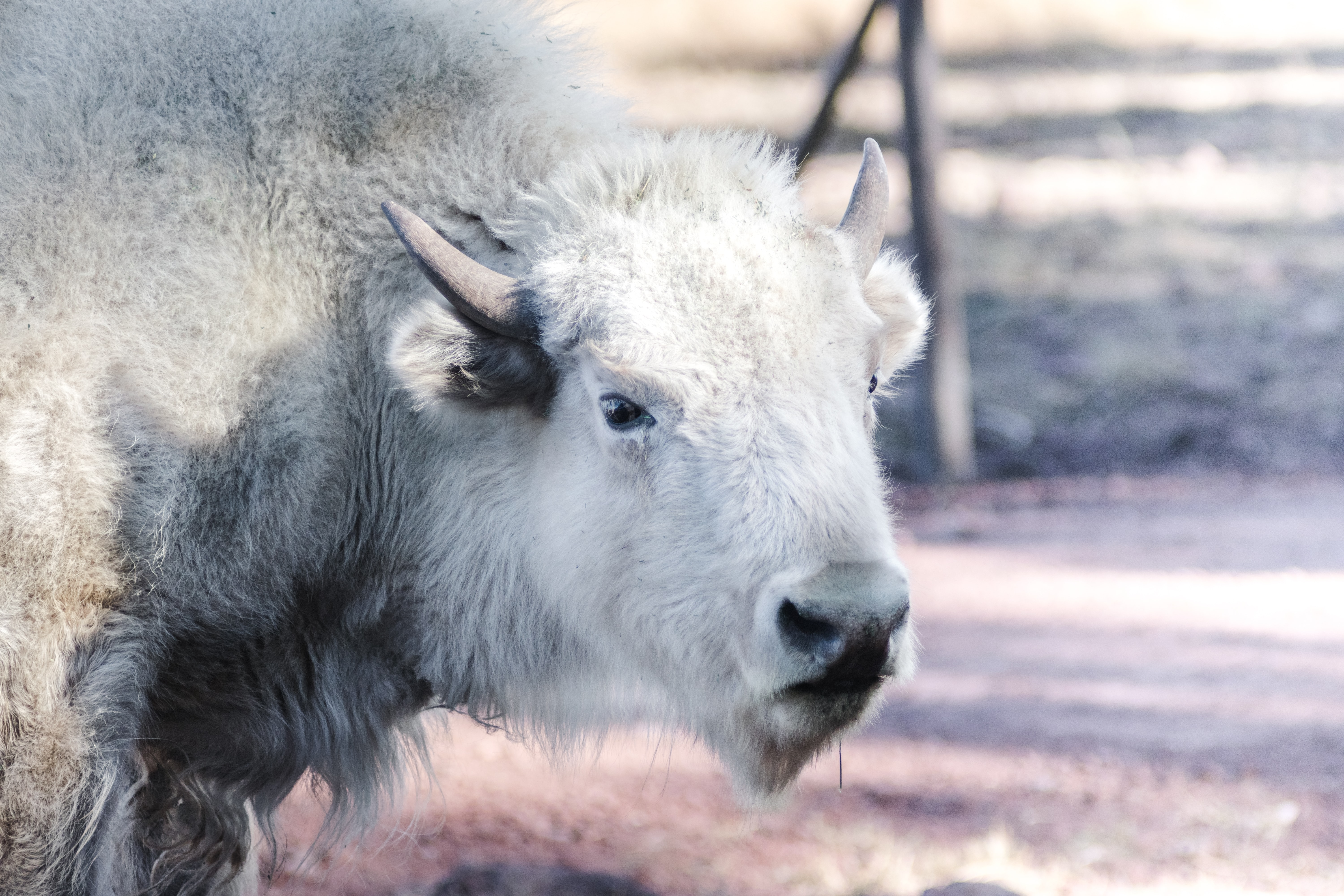 white buffalo standing on ground