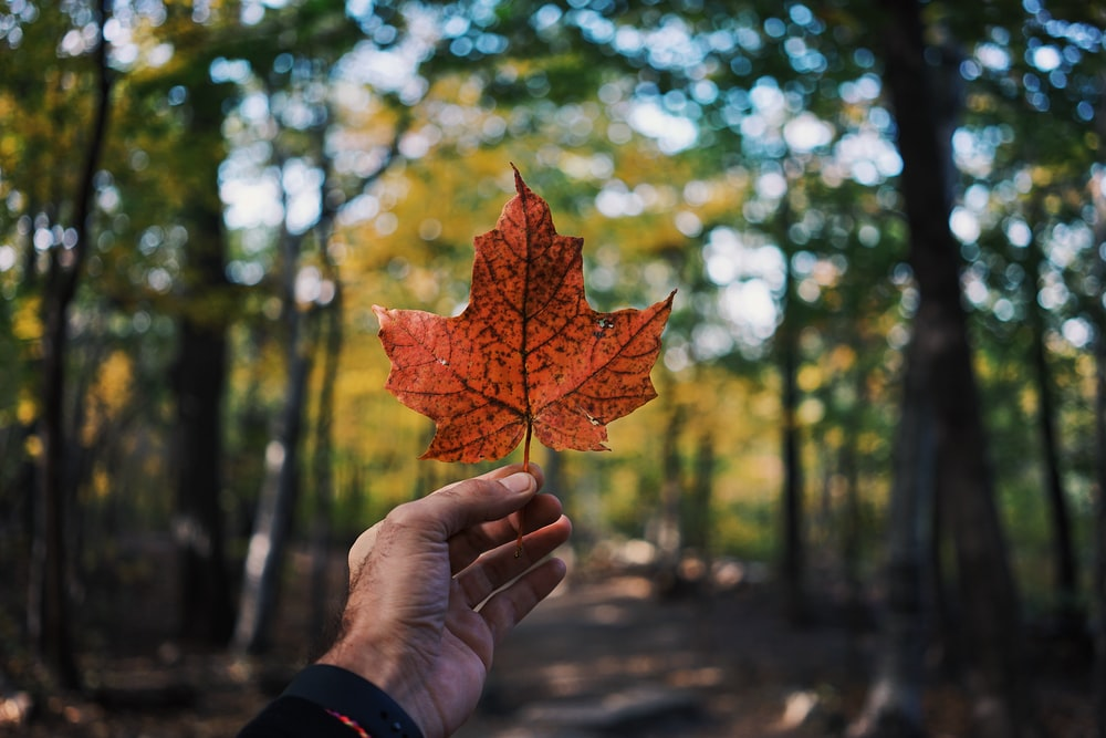 person holding maple leaf