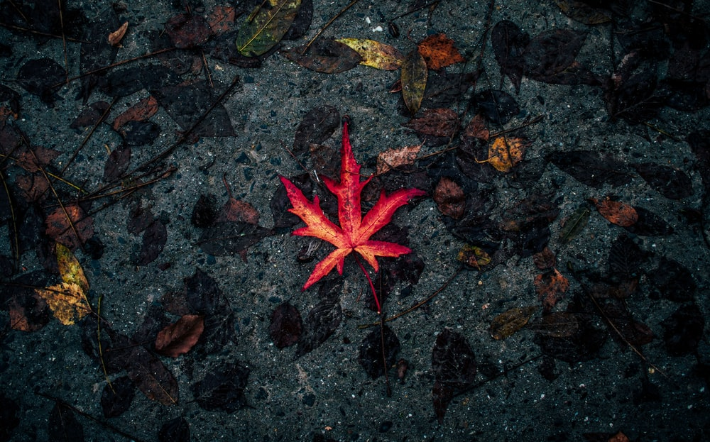 selective focus photography of red leaf