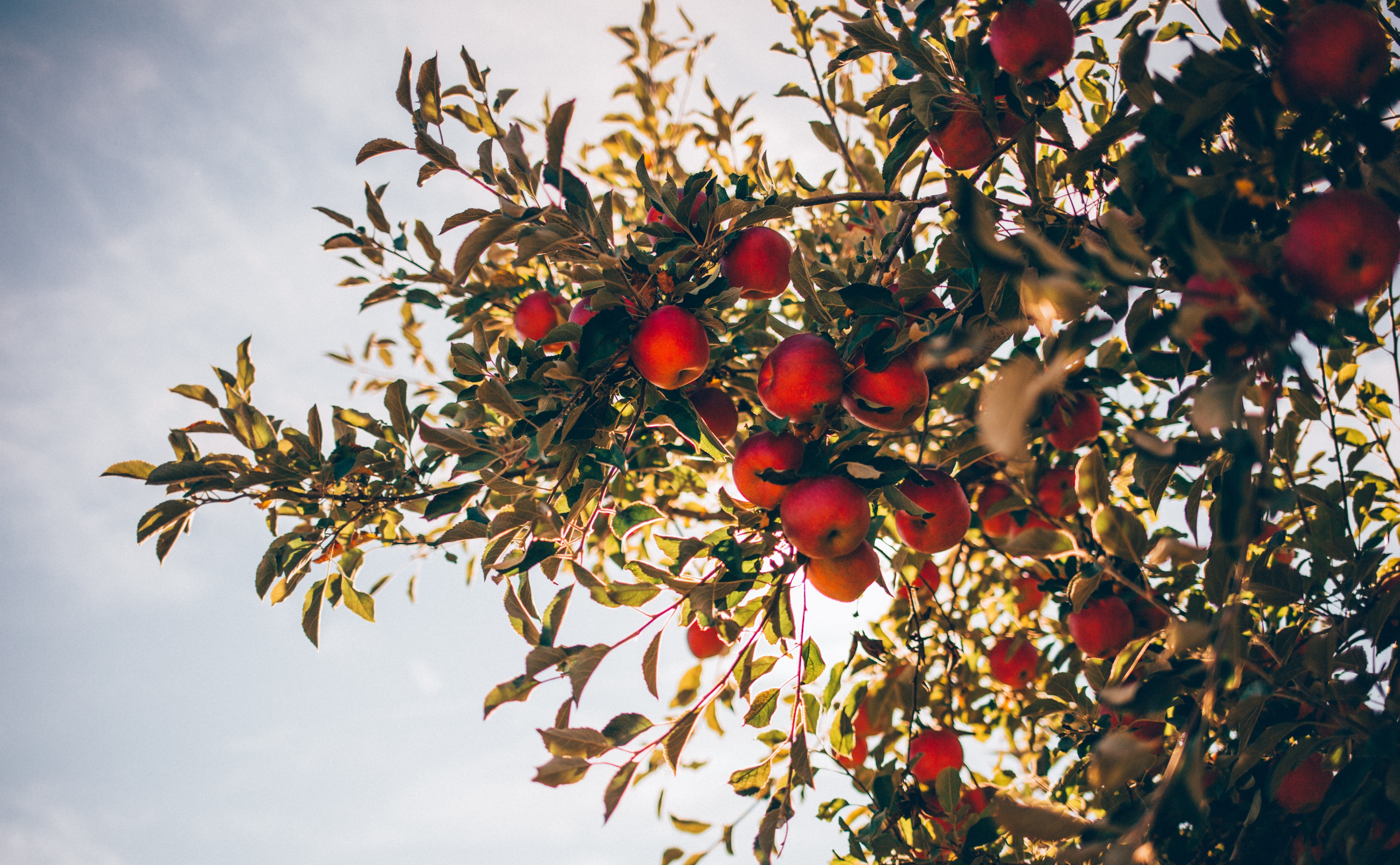 apple tree over sun light and clouds