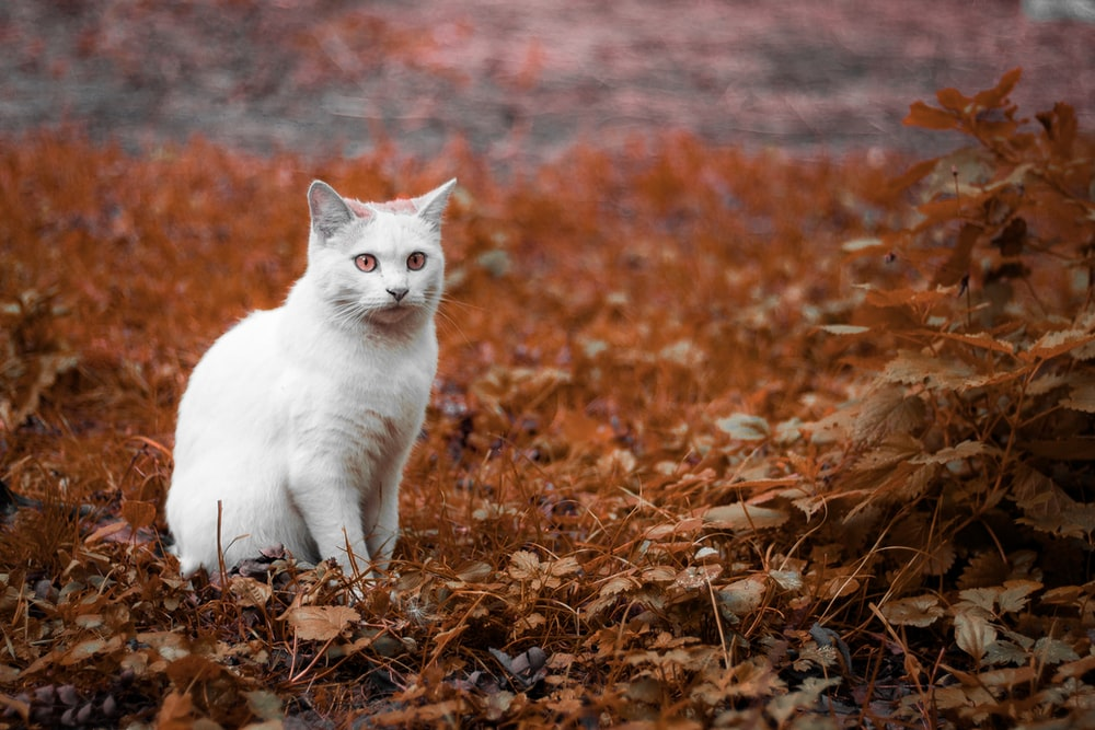 photo of white cat on brown grass