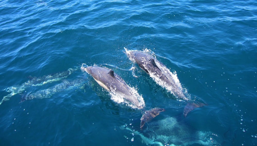 two dolphins swim above water