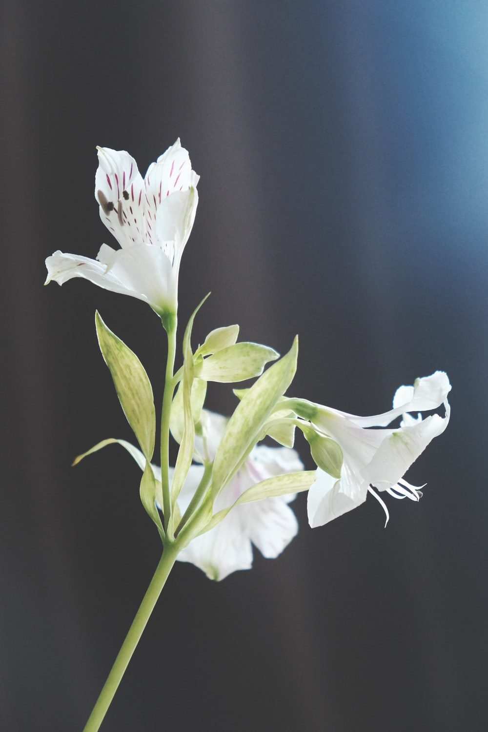 500 white lily pictures download free images on unsplash white flowers in macro shot mightylinksfo