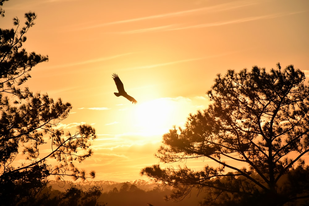 eagle hanging under sunset
