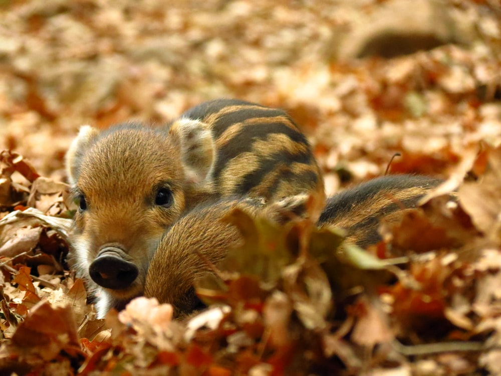 two brown piglets on leaves
