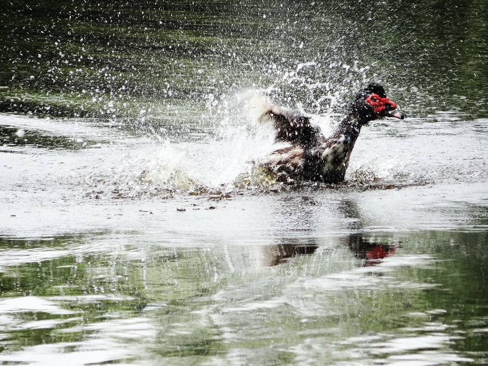 duck bathing on body of water