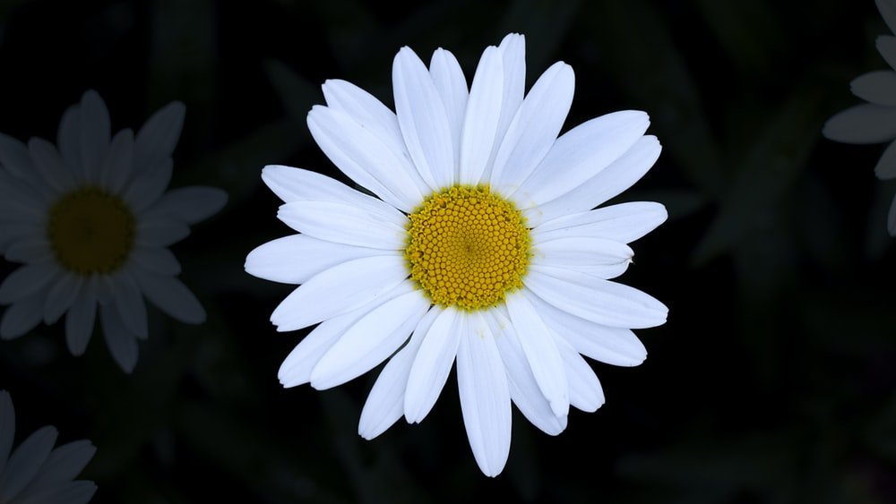 close view of daisy