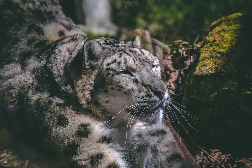 shallow focus photography of brown and black leopard