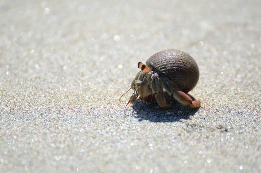 tilt shift lens photography of brown hermit crab