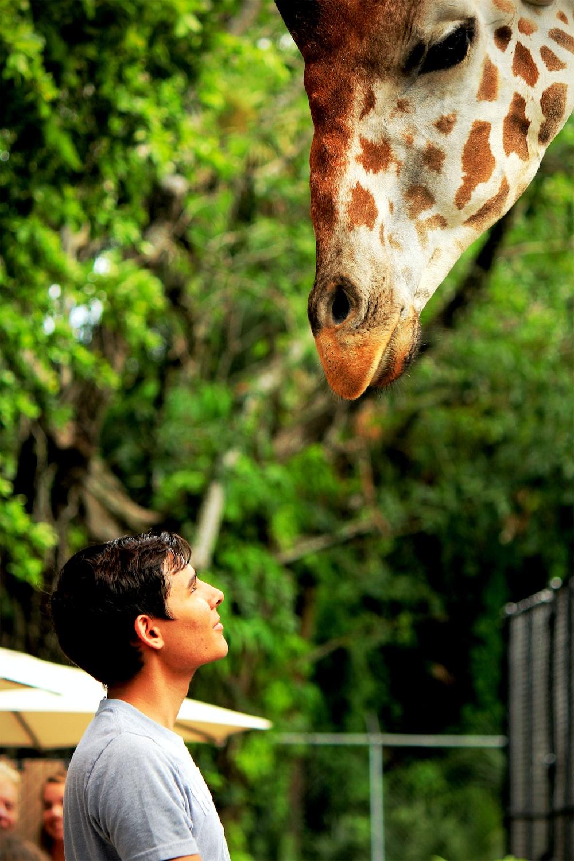 man looking at giraffe