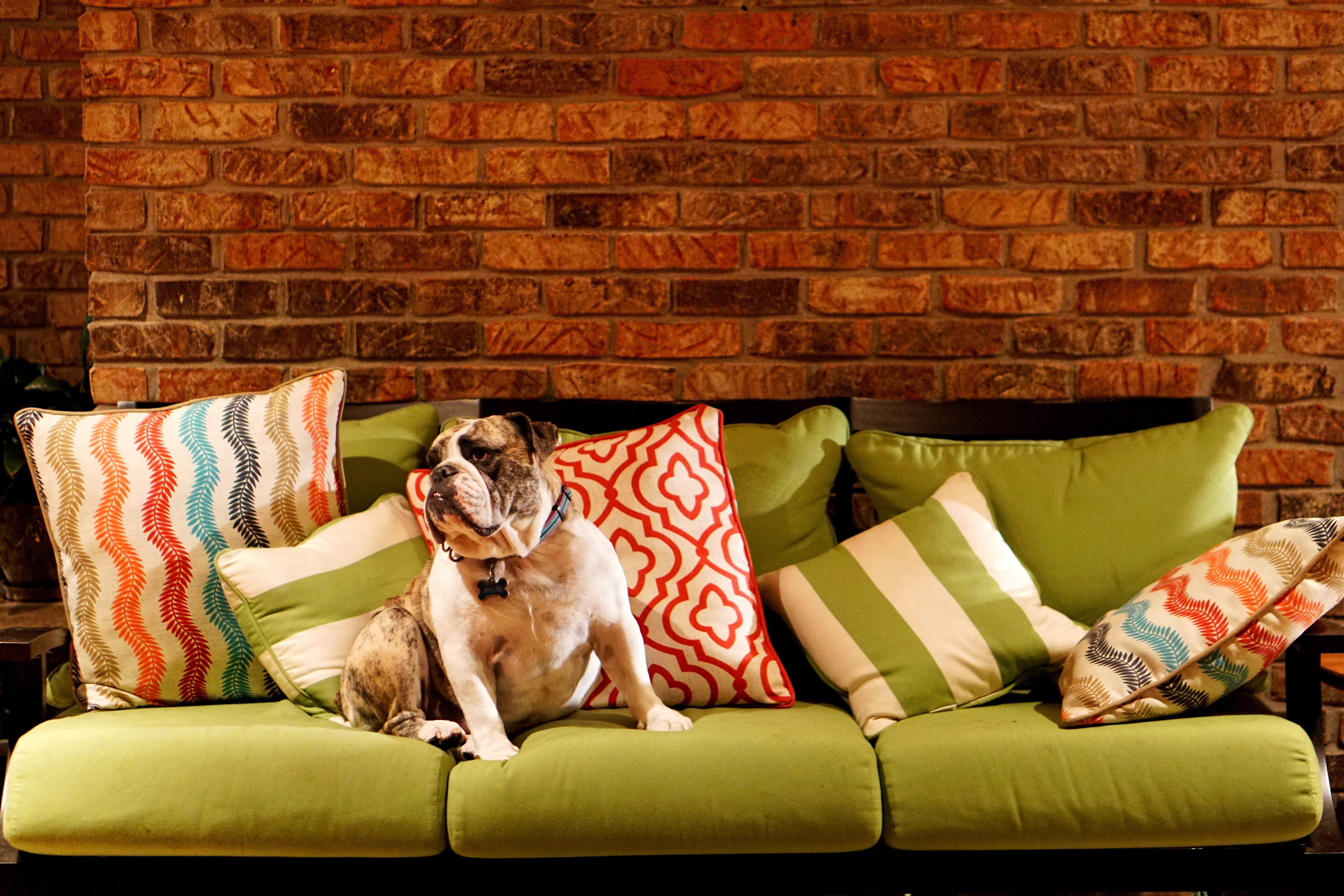 adult dog on green 3-seat sofa