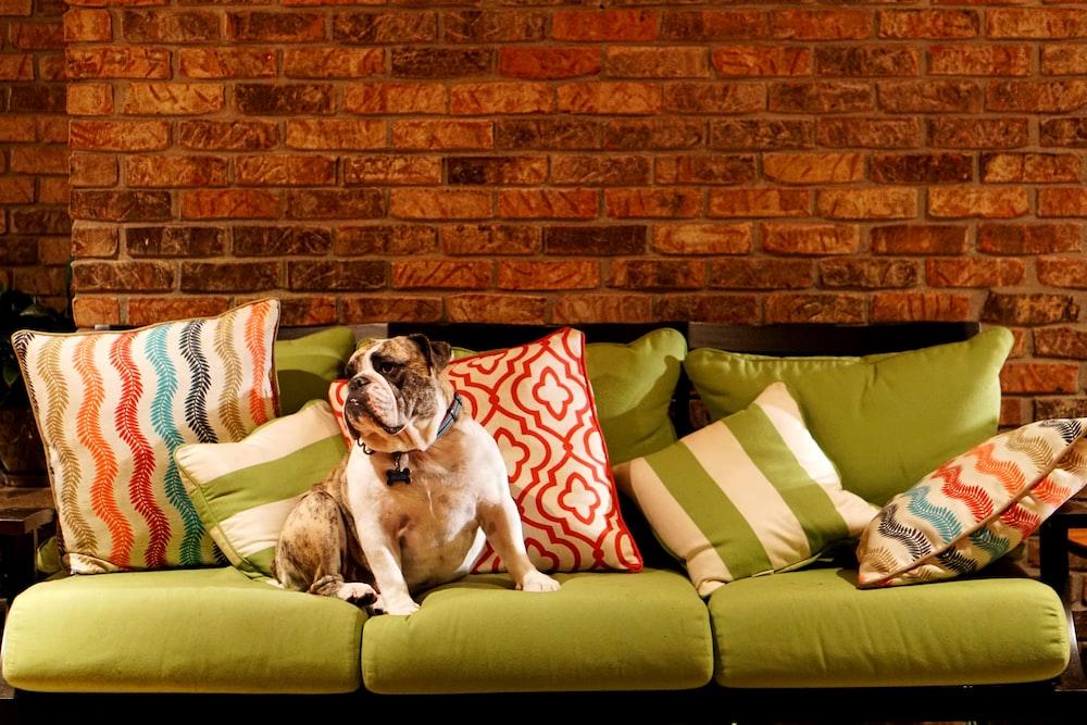 adult dog on green 3-seat sofa