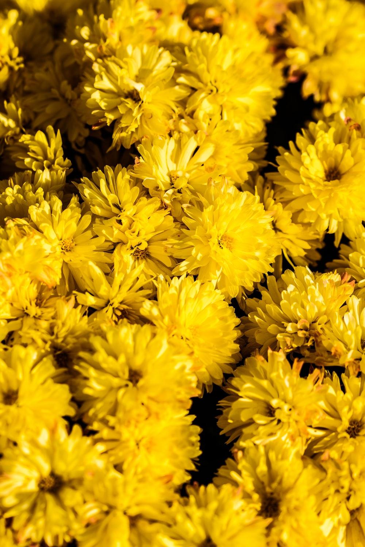 bunch of yellow chrysanthemum flowers