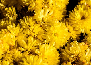 bunch of yellow chrysanthemum flowers