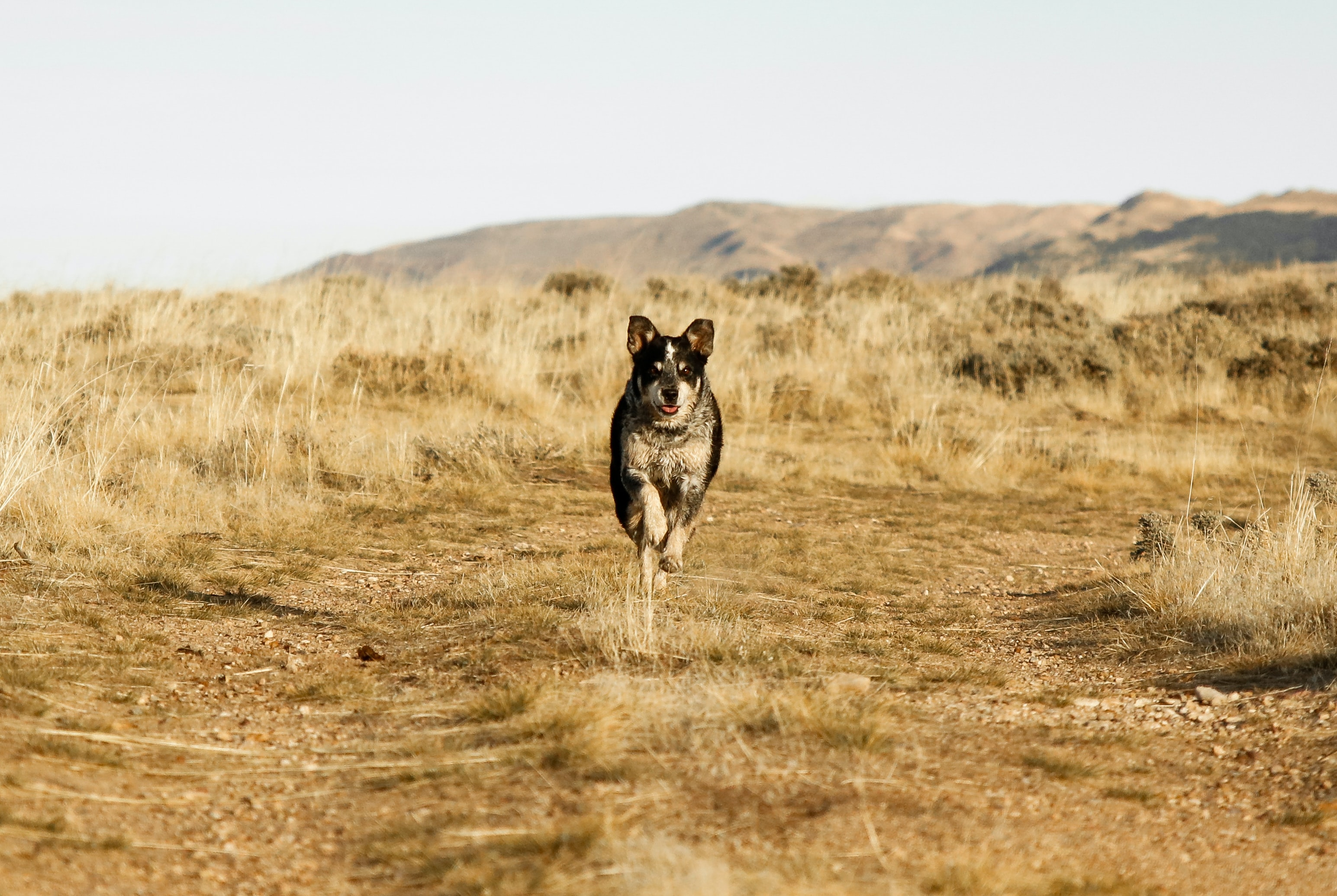 dog running on brown soil