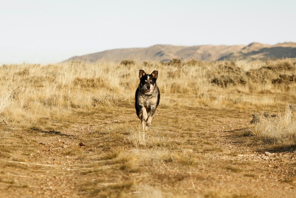 dog running on brown soil