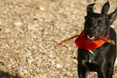 black dog with stick in its mouth