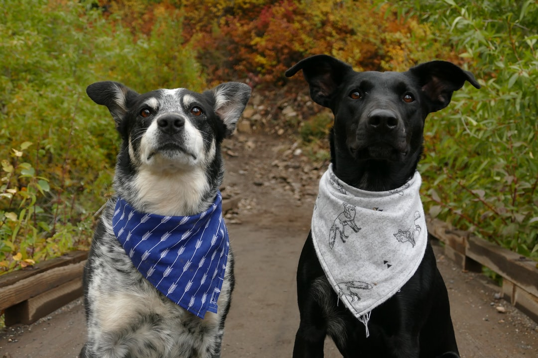 two dogs in blue and white neck scarves