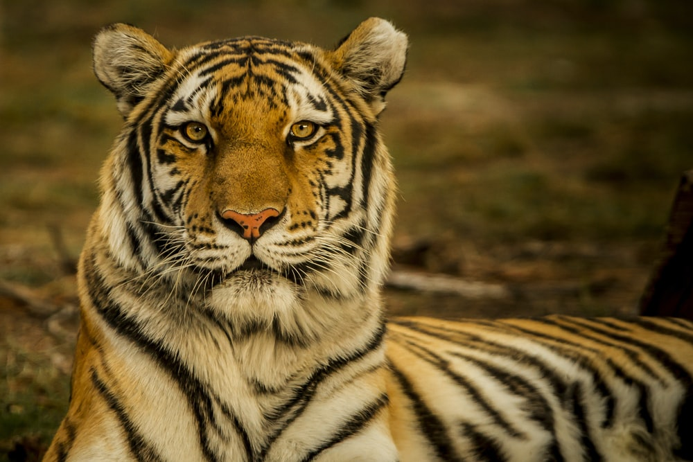wildlife photography of tiger laying on ground