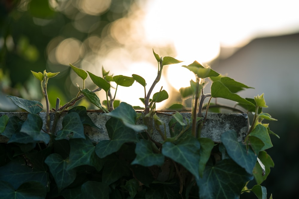green vines on wall