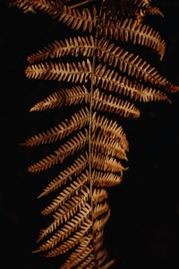 brown fern]