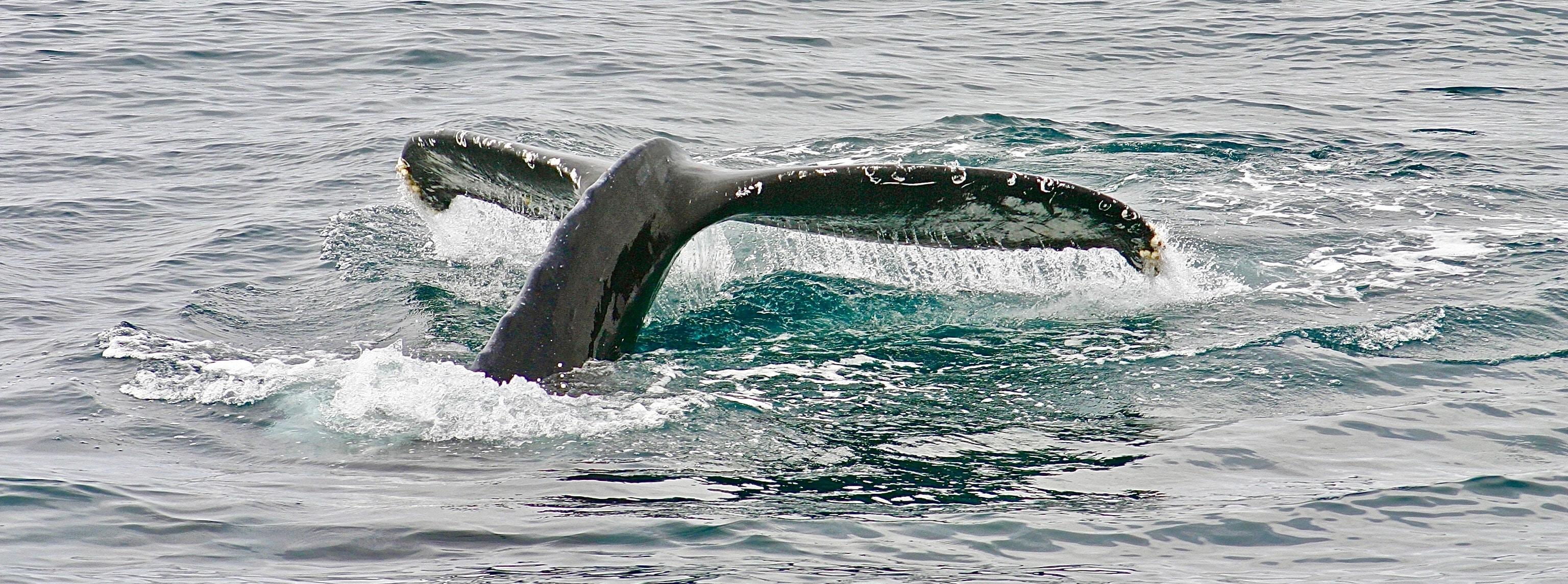 whale tail taken on sea\