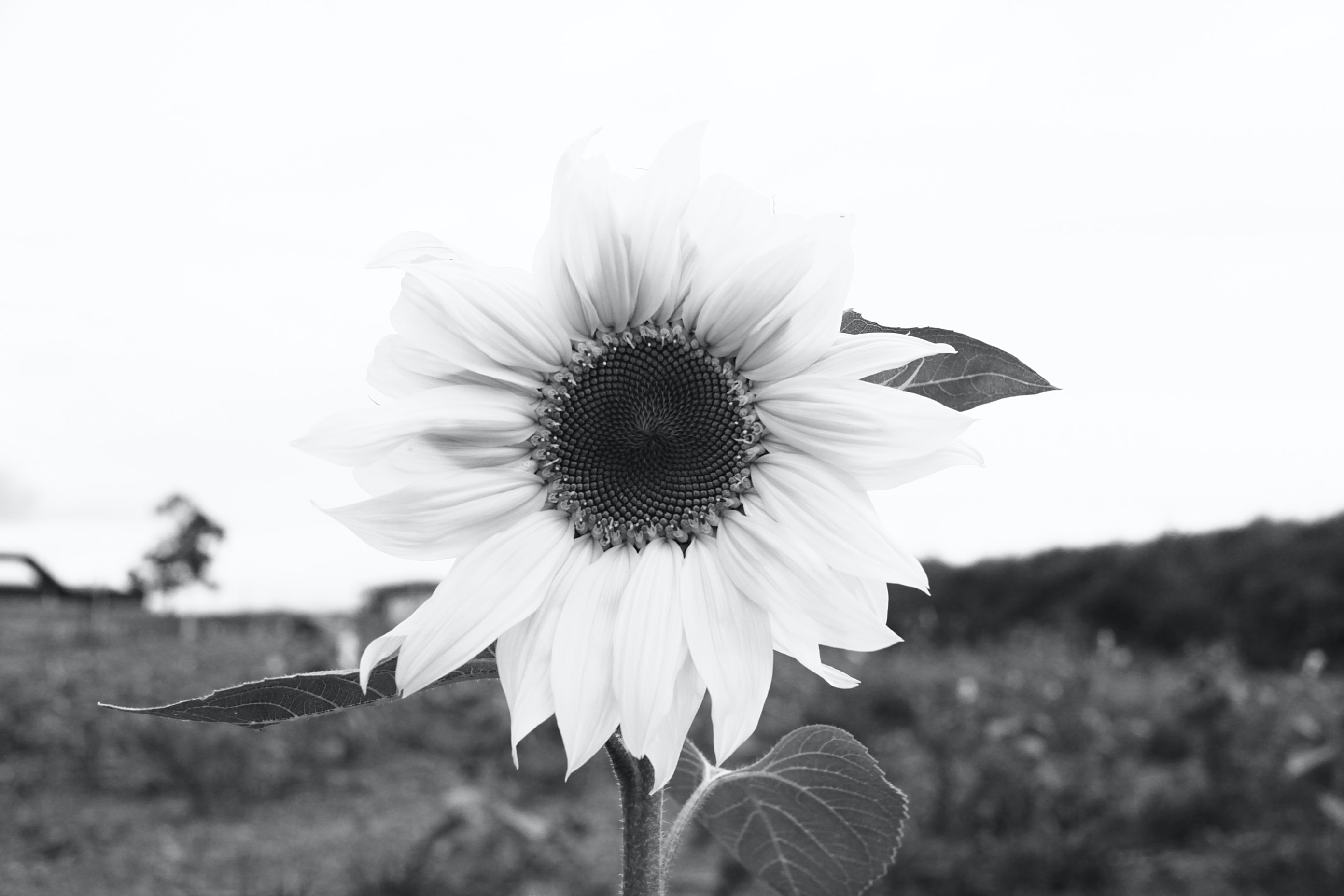 grayscale photograph of sunflower