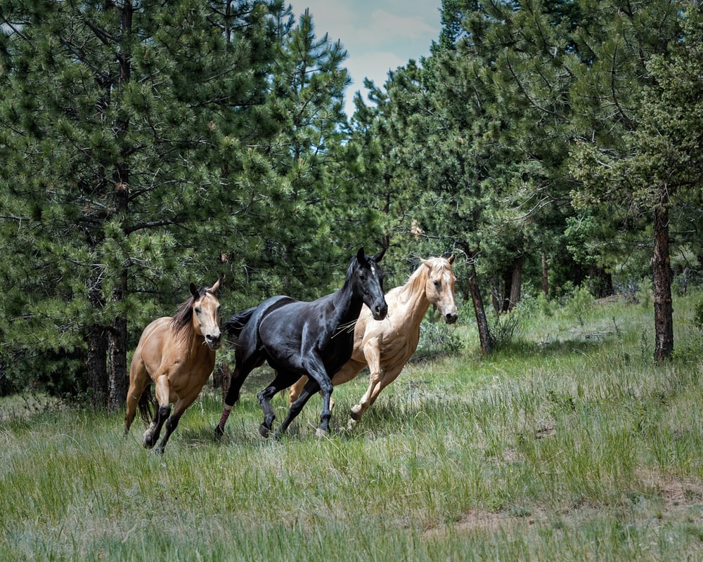 two brown and one black horse on green grass