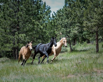 Our horses out on pasture in the mountains of Colorado. The herd always follows the lead mare.