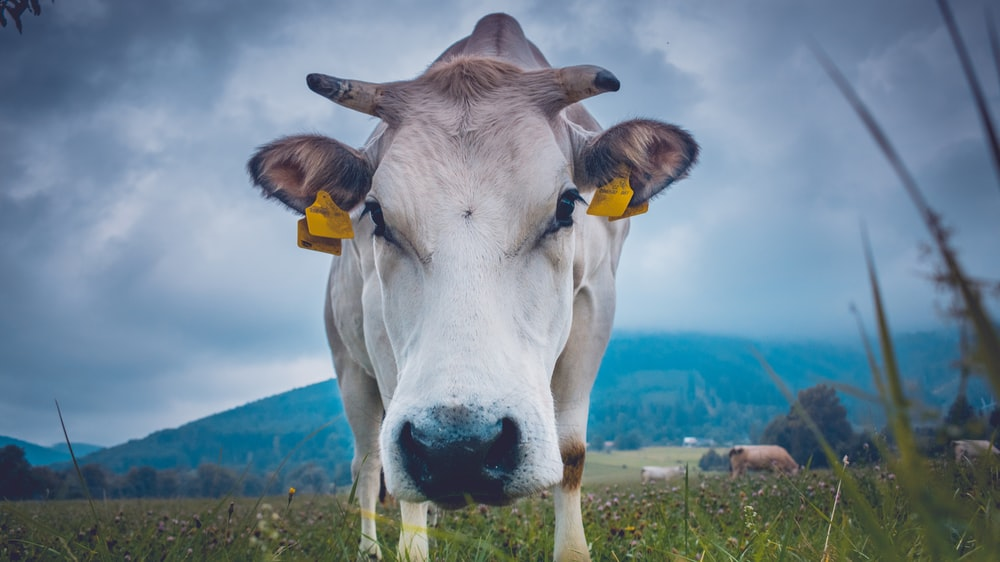 shallow focus of cow on green field